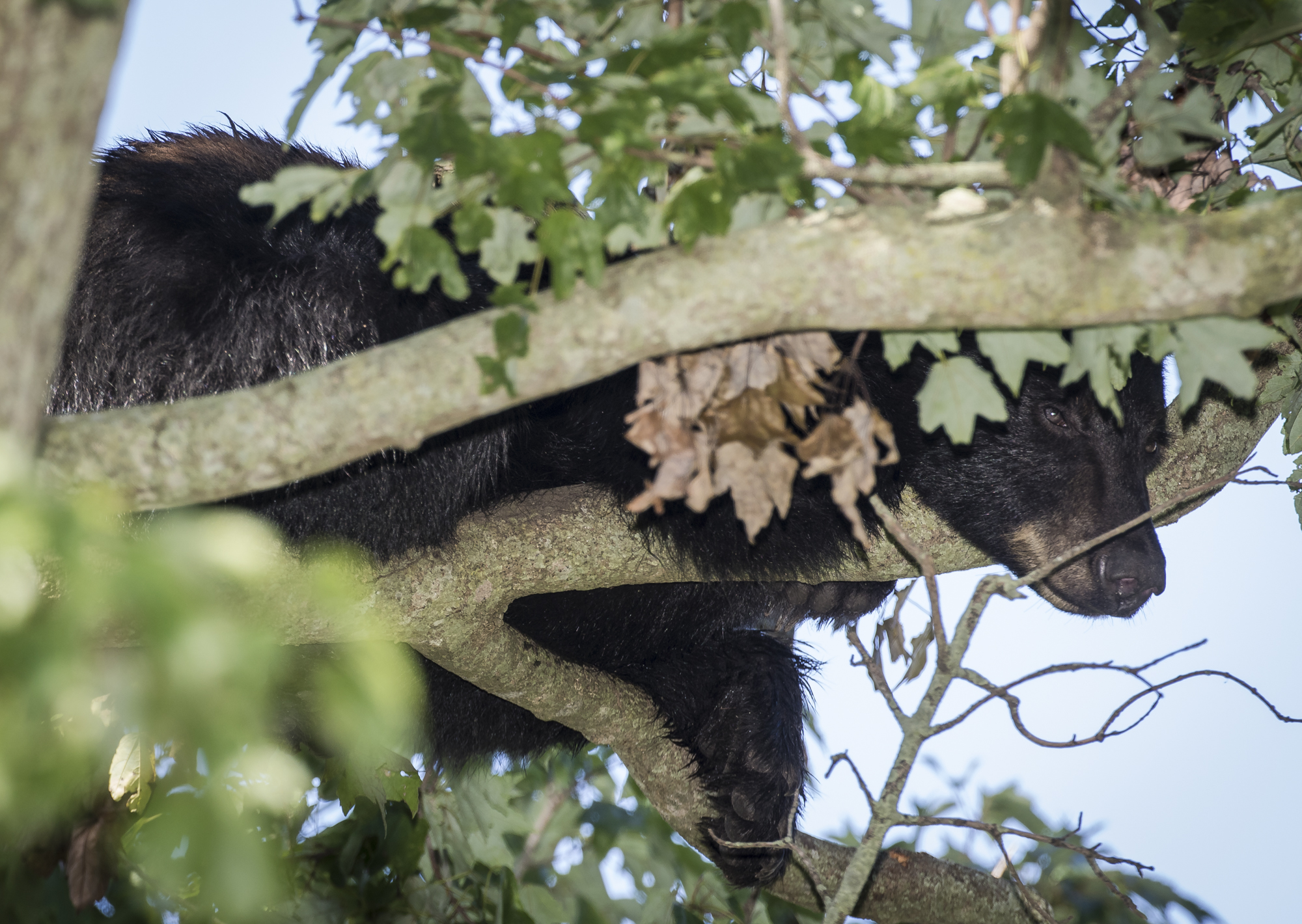 Young black bear chillin' in tree alongside road