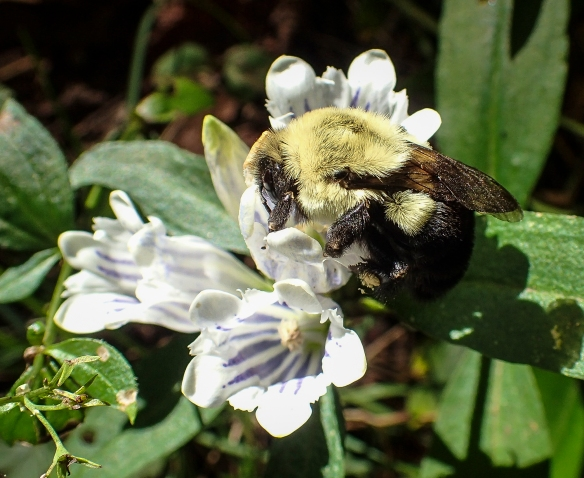 bumblebee on gentian