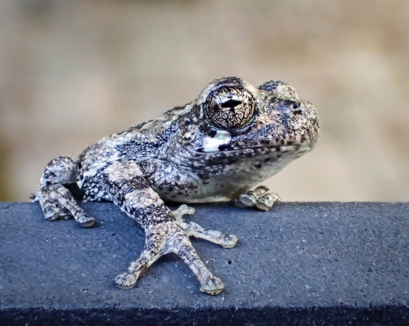 Cope's gray treefrog juvenile, slightly larger individual