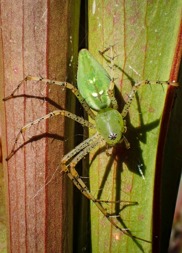 Green lynx spider female with egg sac in green vegetation (hoode
