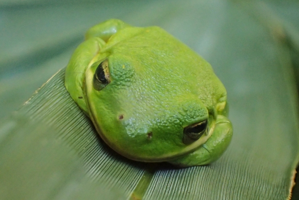 Green treefrog head view