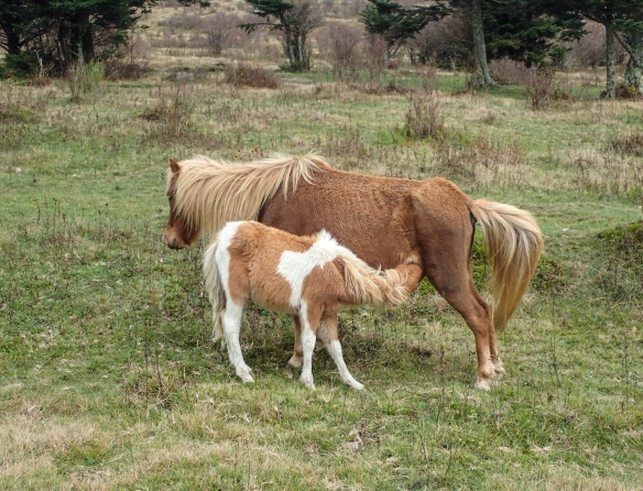 nursing pony