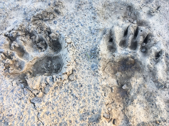 Black bear tracks