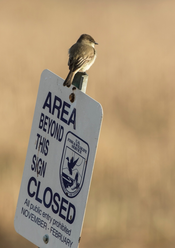 Eastern phoebe on sign