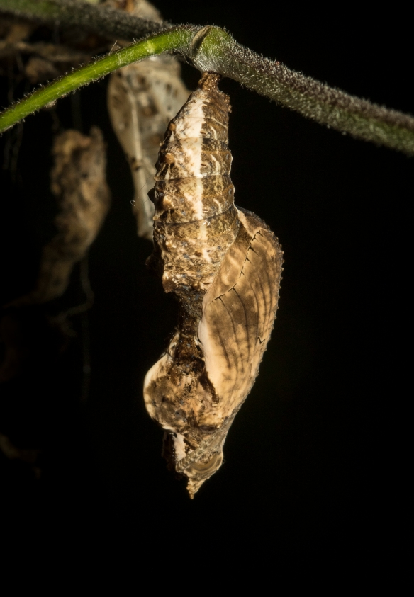 gulf fritillary chrysalis side view