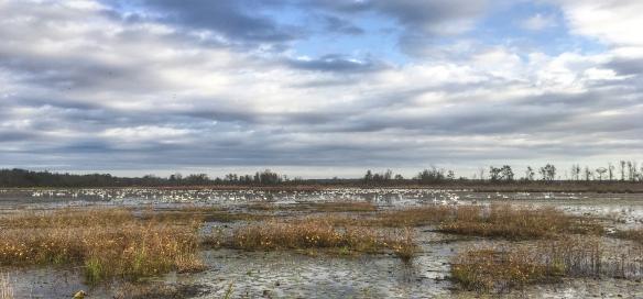 Swans in Marsh A