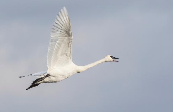 Trumpeteer swan