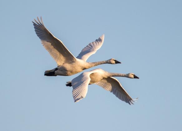 Tundra swans flying out of Pungo Lake