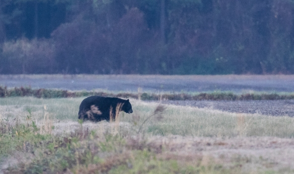 Black bear at dawn