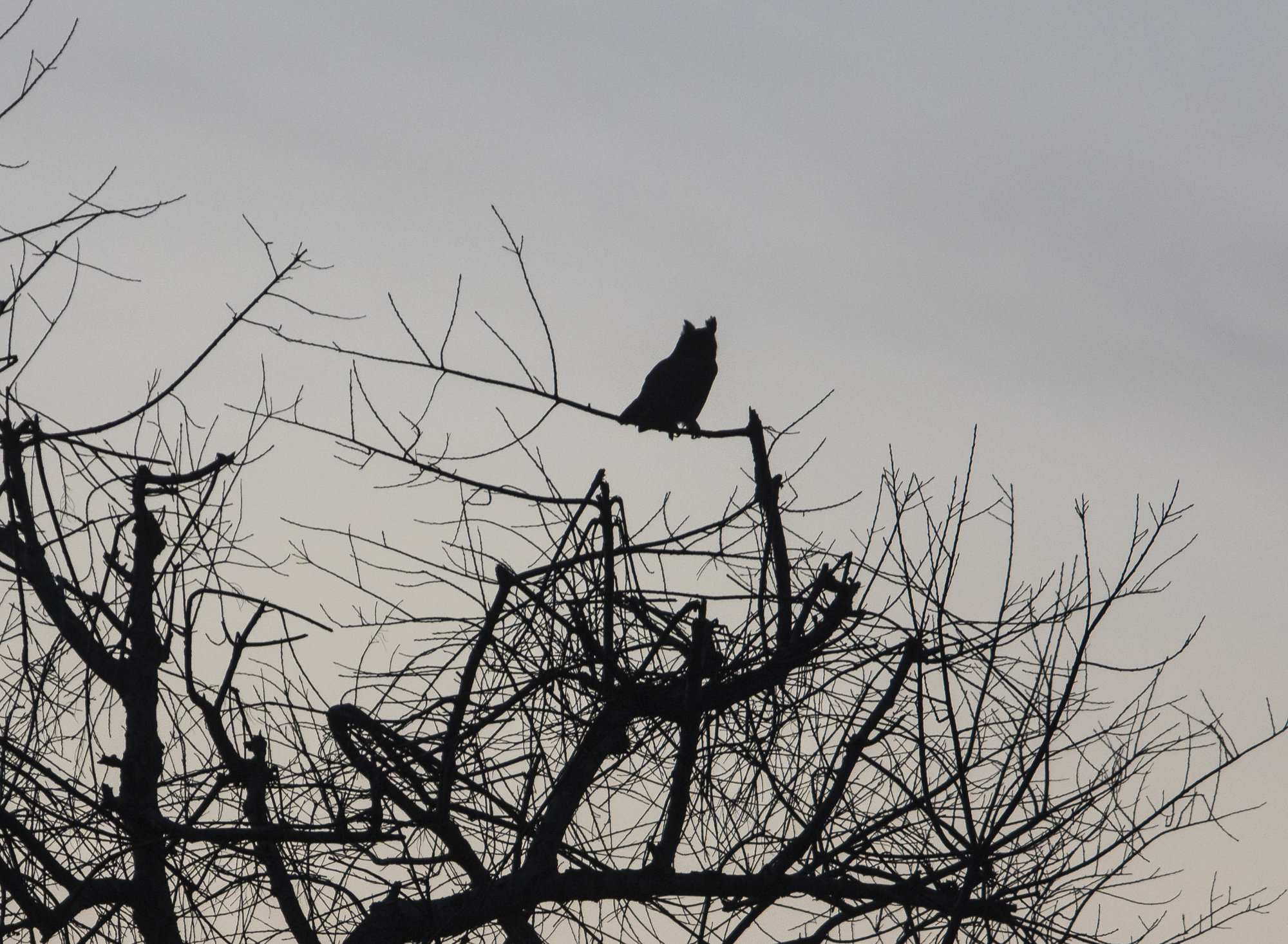 Great horned owl at sunset in cherry tree broken by bears