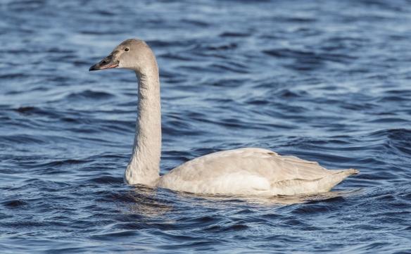Immature tundra swan