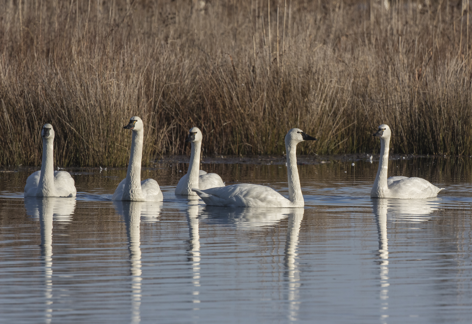 Tundra swan reflections