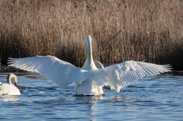 Tundra swan wing flap 1