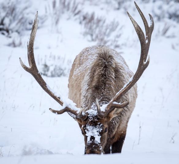 Bulll elk in snow