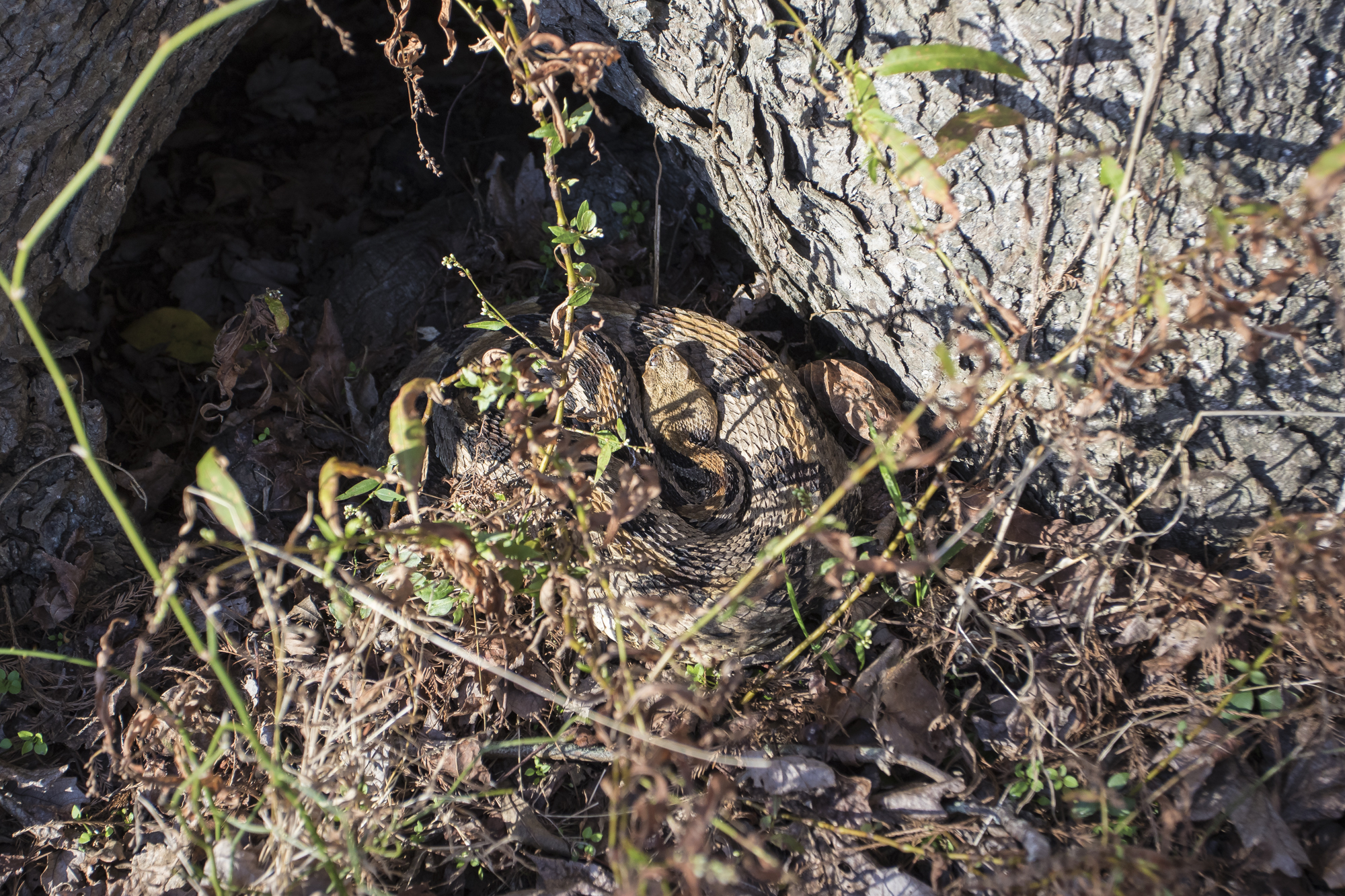 Canebrake rattlesnake at entrance to den tree