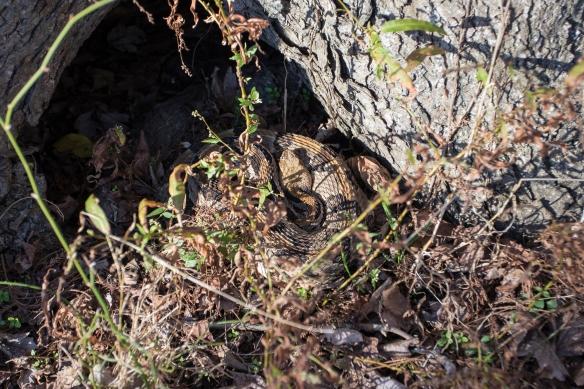 Canebrake rattlesnake at entrance to den tree
