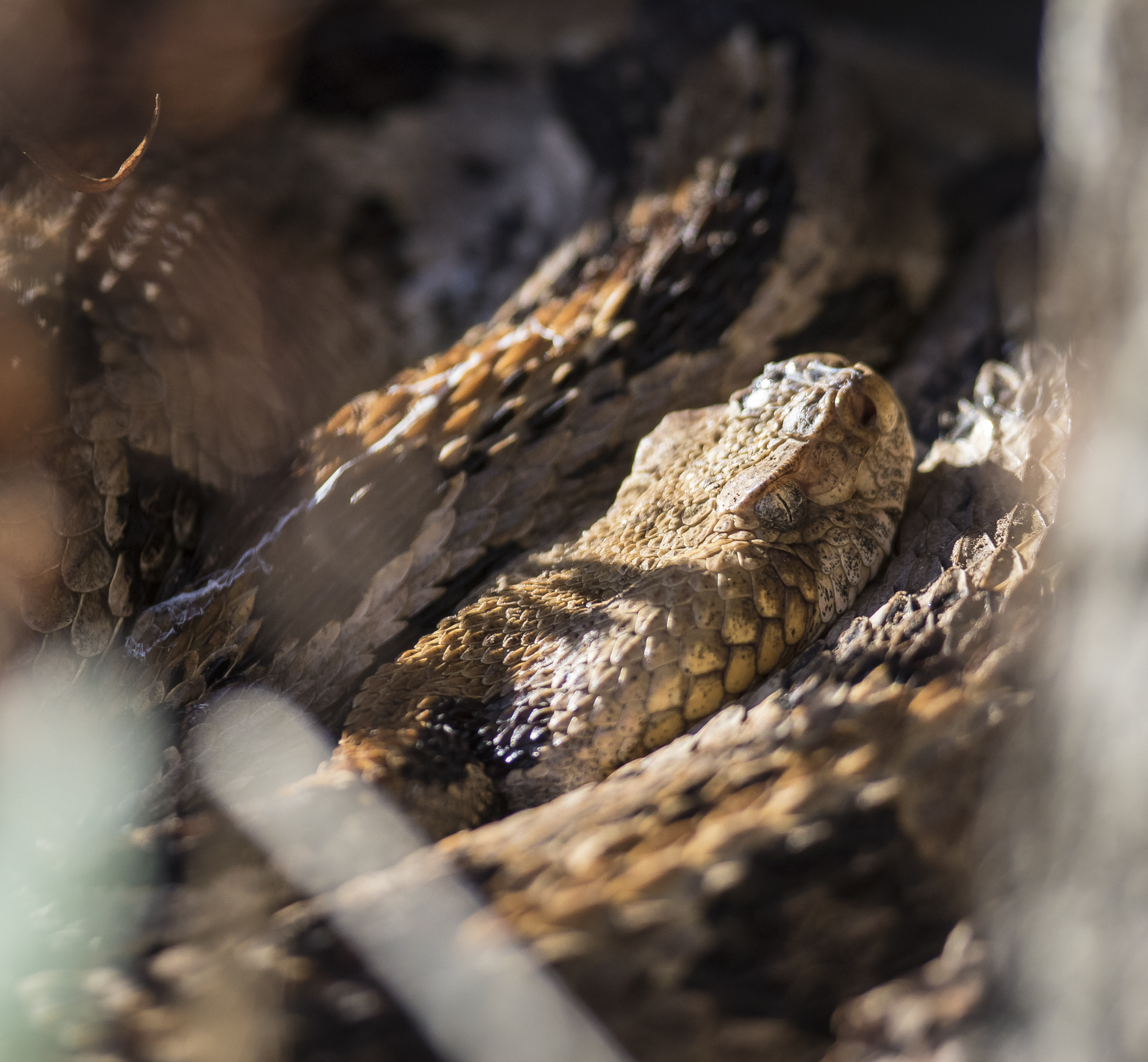 Canebrake rattlesnake head shot