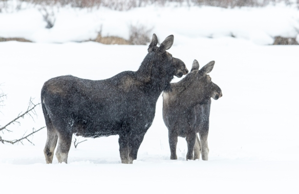 Moose and calf standing