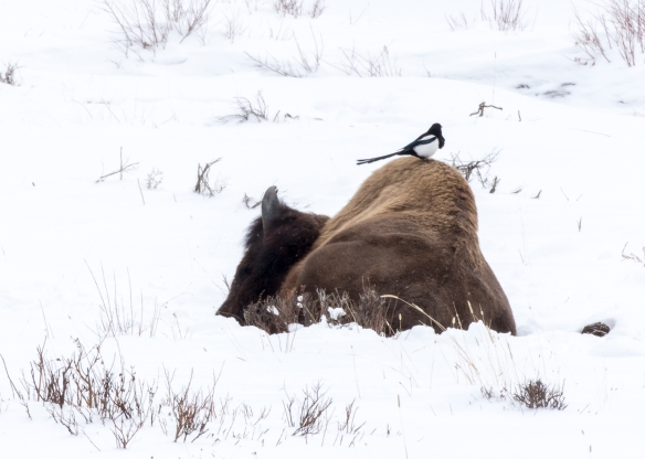 Old bison in winter