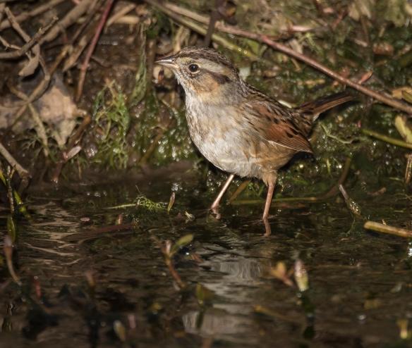 Swamp sparrow 1