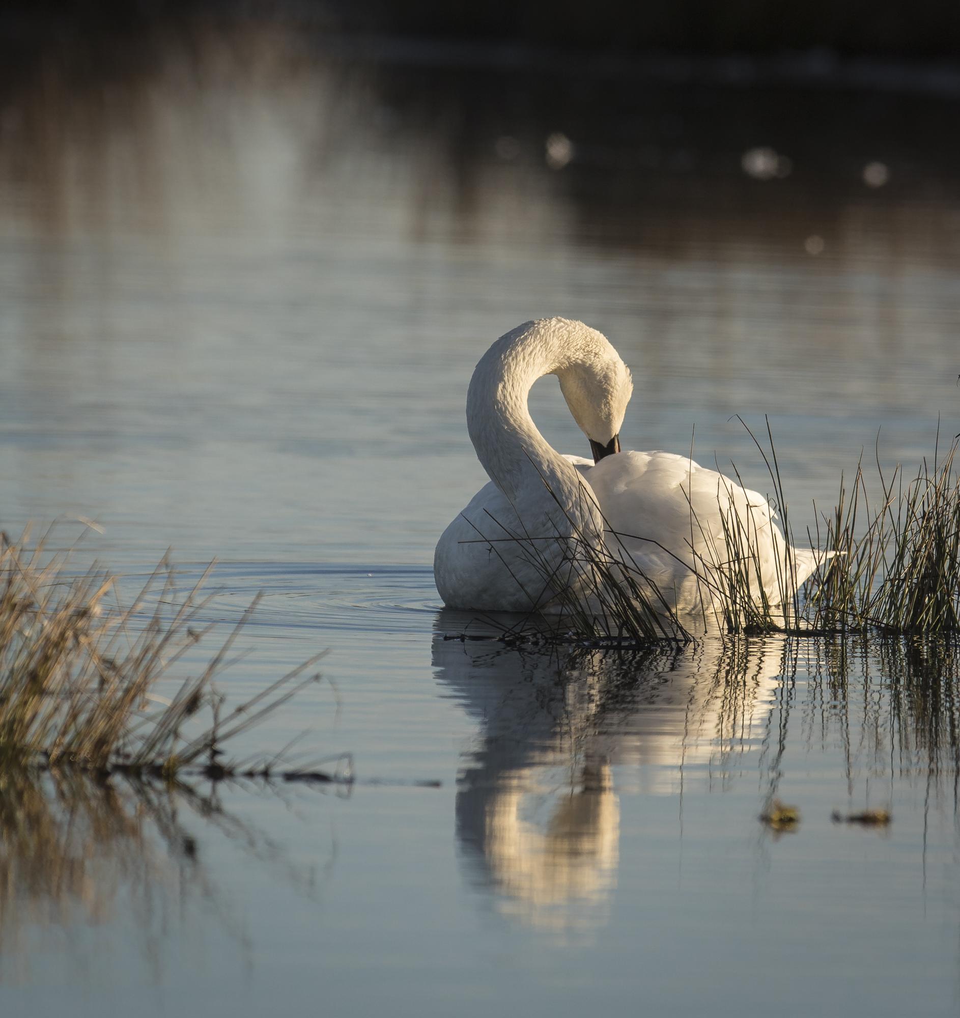 Swan preening 1