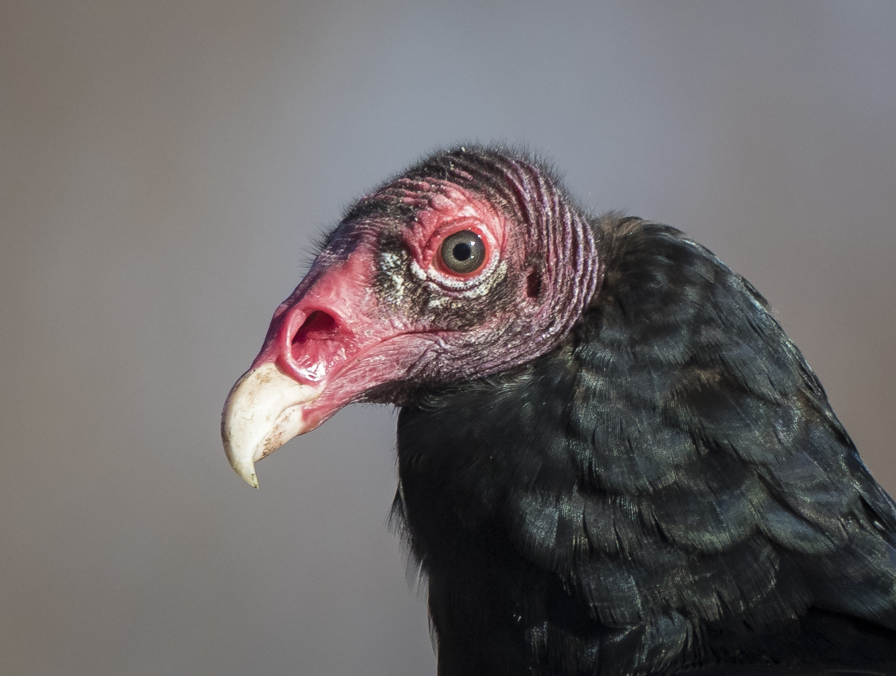 Turkey vulture head