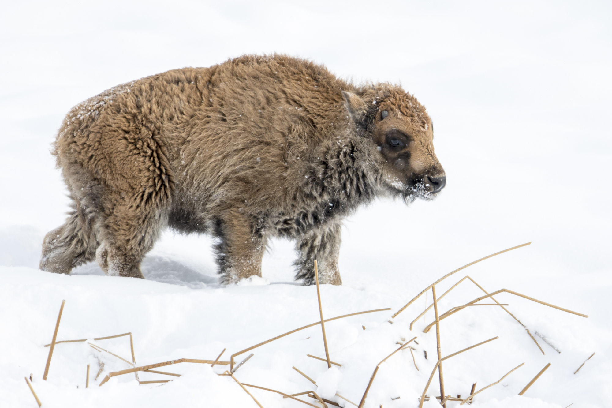 Baby bison - late calf