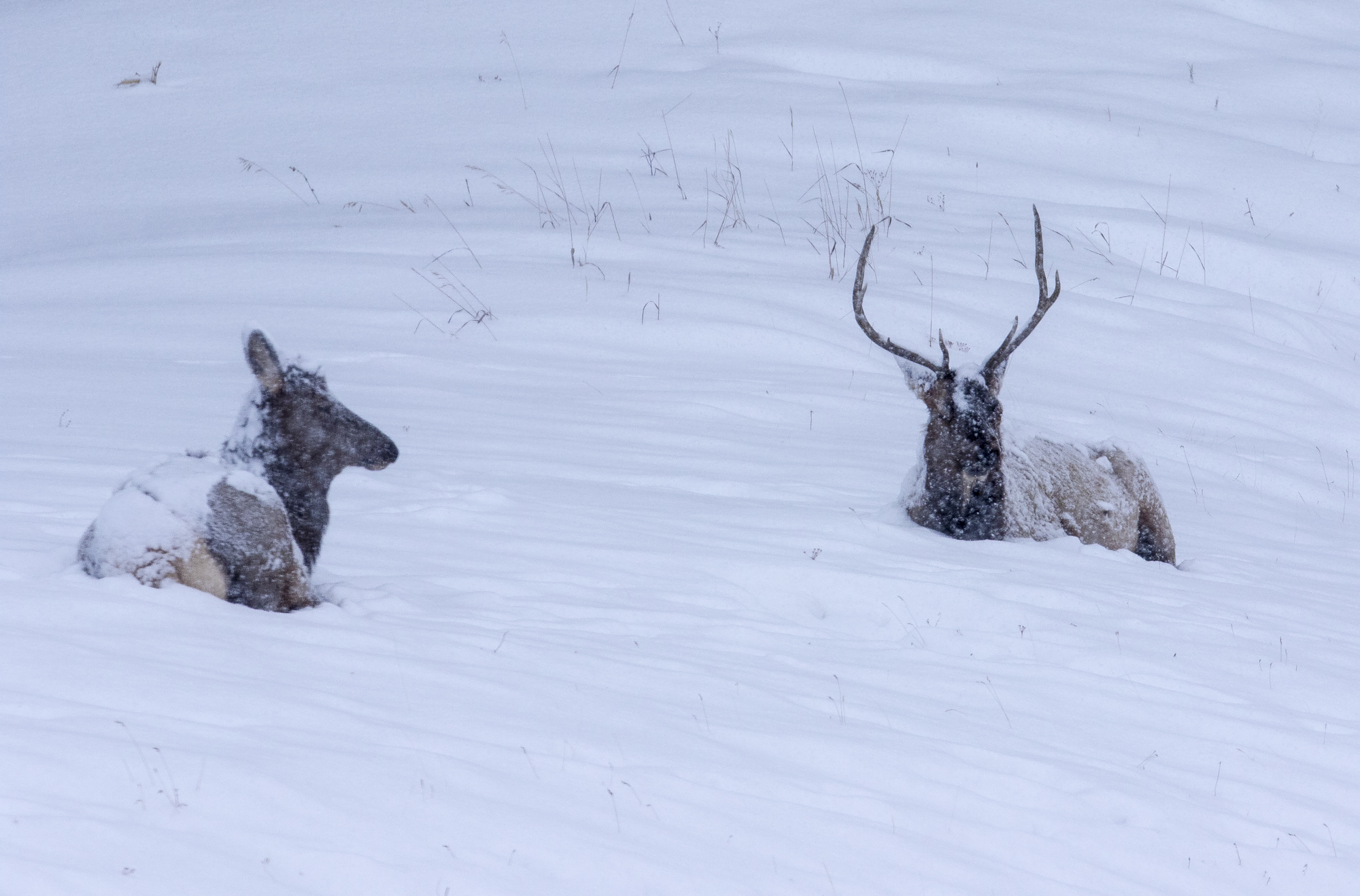 Elk resting in snow - cow and bull