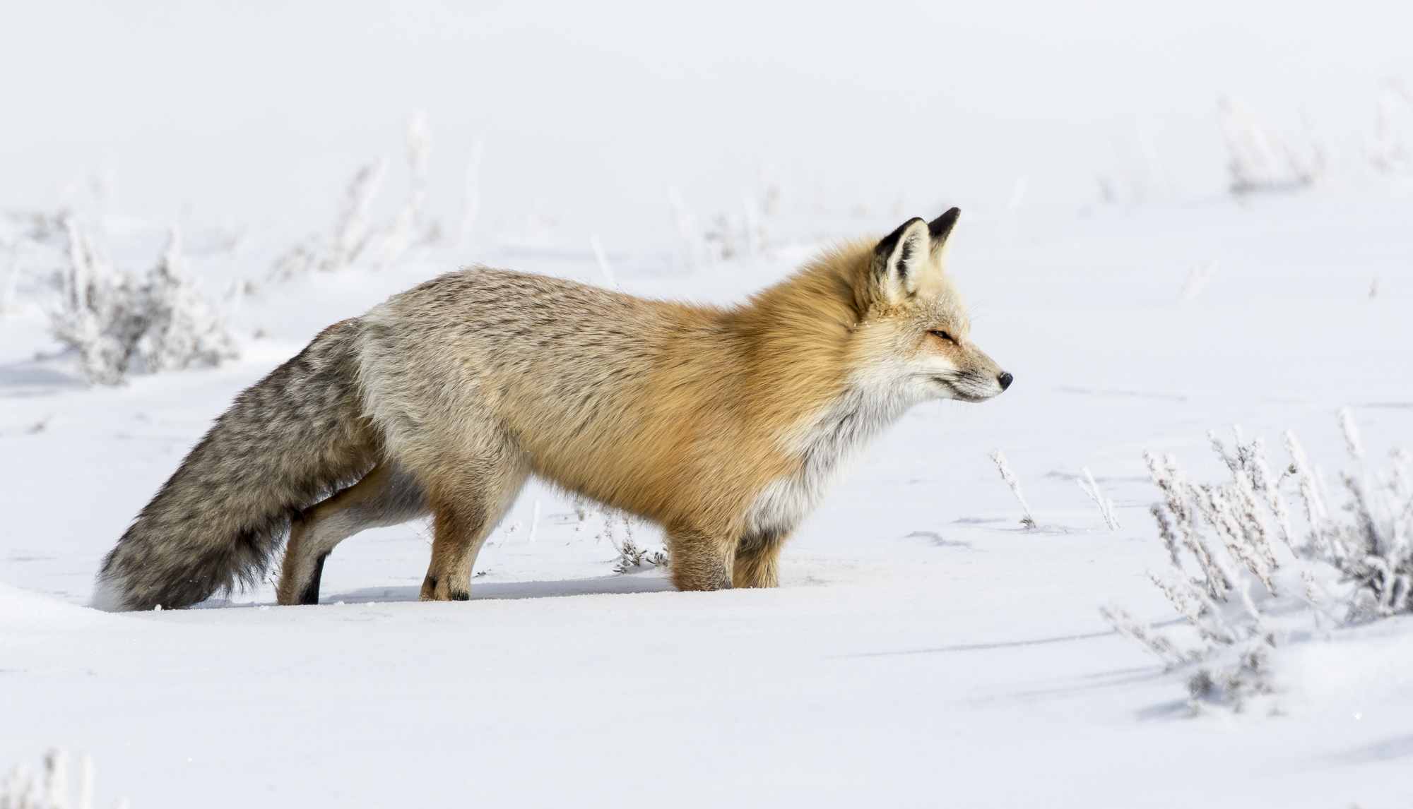 Red fox in deep snow