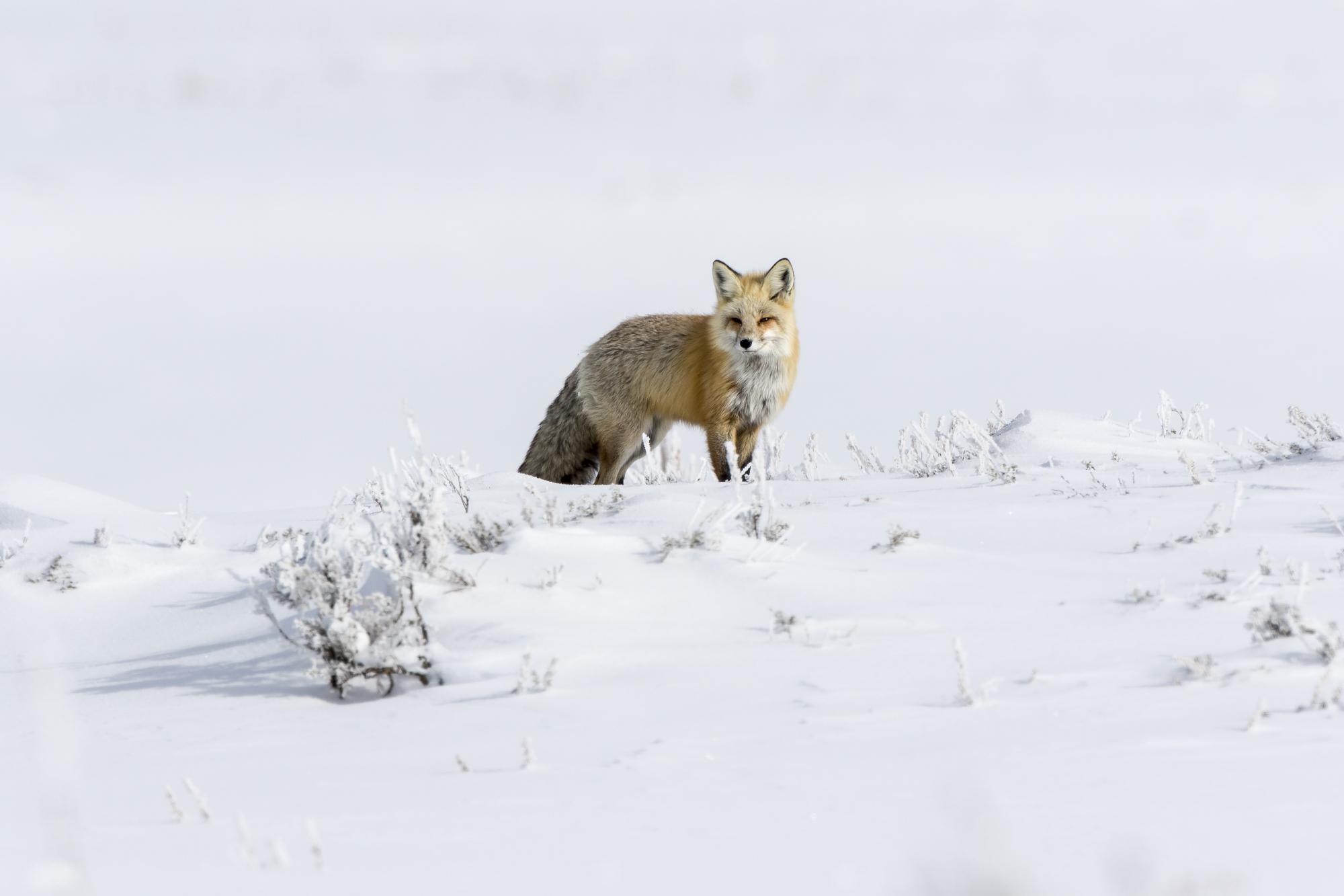Red fox in Hayden Valley