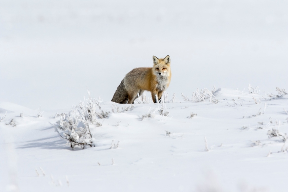 Red fox in Hayden Valley