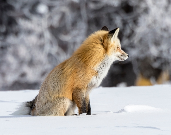 Red fox sitting in snow
