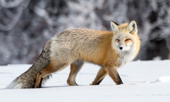 red fox strolling through snow as it leaves us