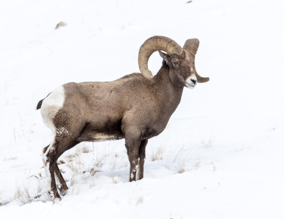 Rocky moutain bighorn ram at confluence