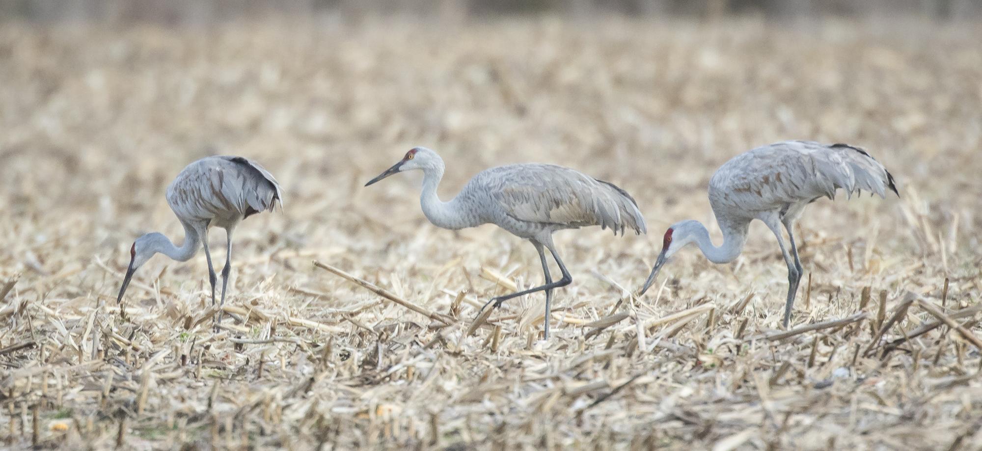 Sandhill cranes in cornfield