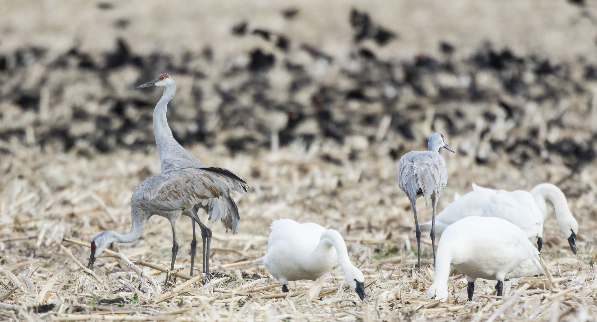 Sandhill cranes, swans, and rwb in cornfield
