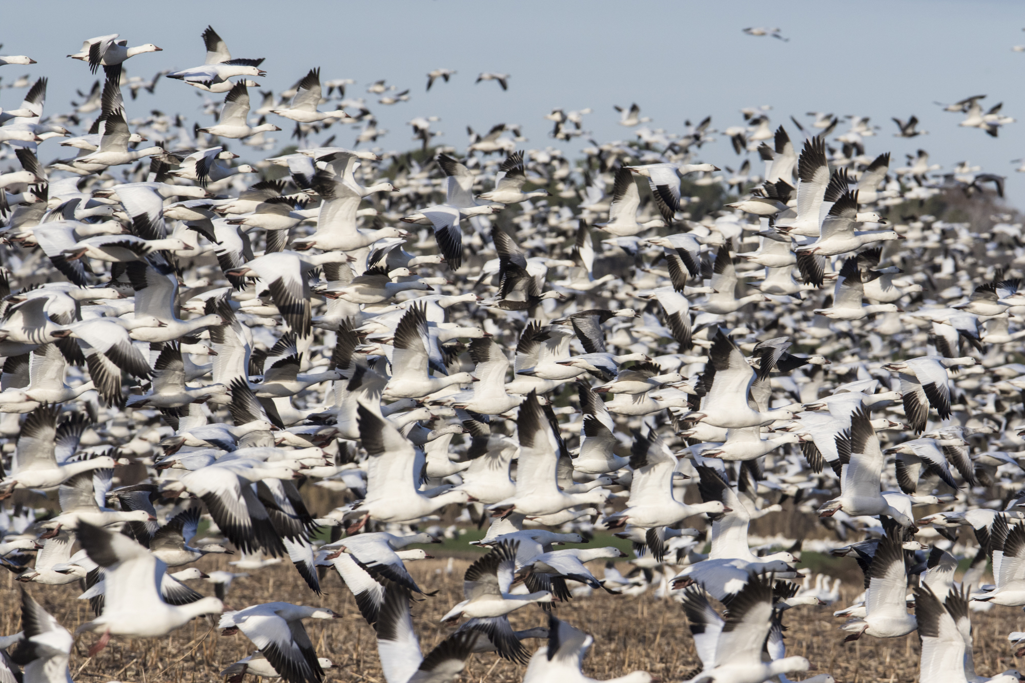 snow geese blasting off