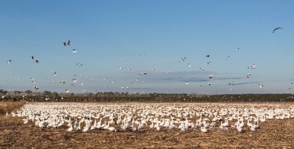 Snow geese in field in morning light