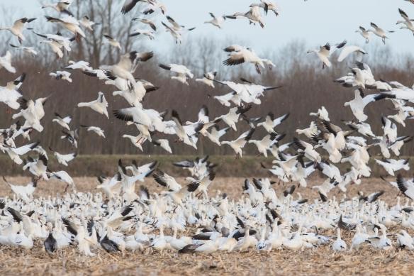 snow geese landing