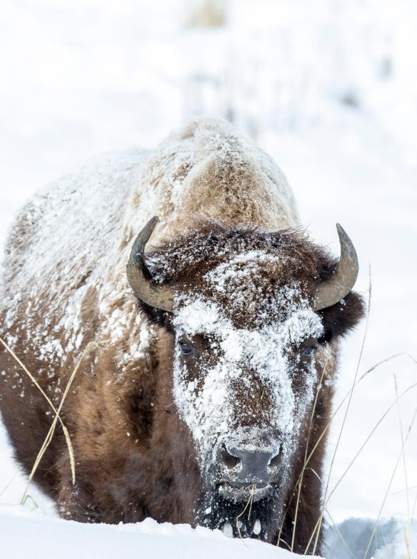 snowy bison 1
