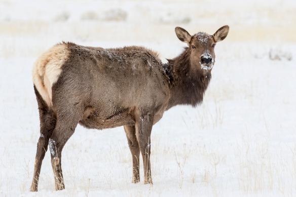 snowy cow elk