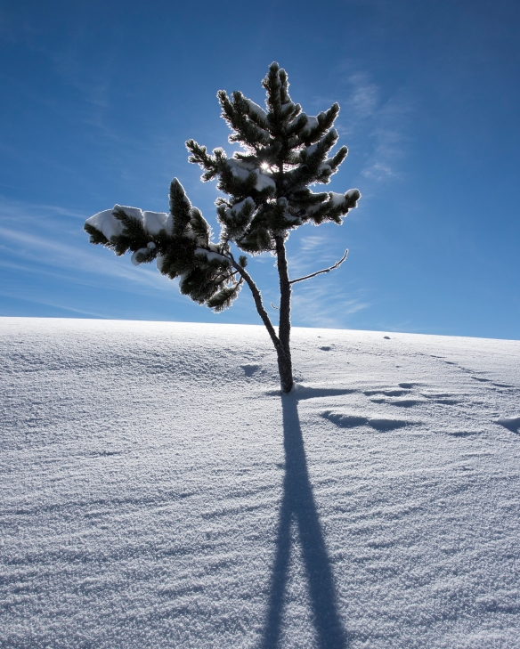 Tree top sticking out of snow at Canyon