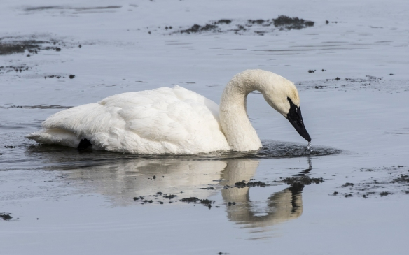 Trumpeter swan in river