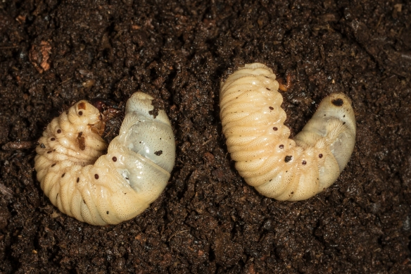 Eastern hercules beetle grubs