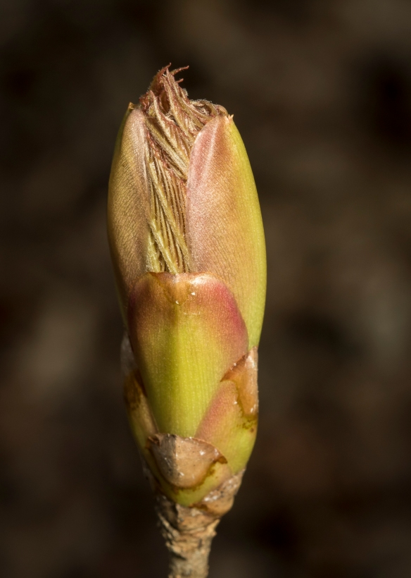Painted buckeye bud just opening