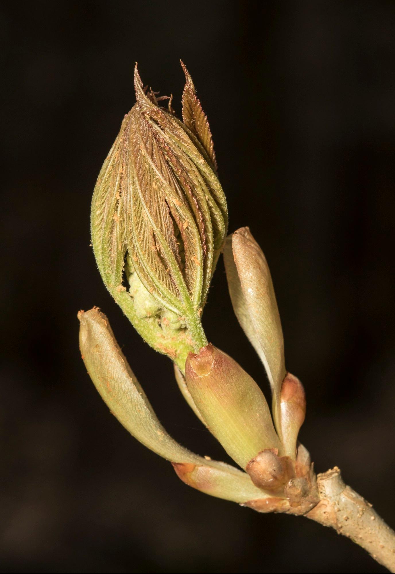 painted-buckeye-bud-with-flower-stalk.jpg