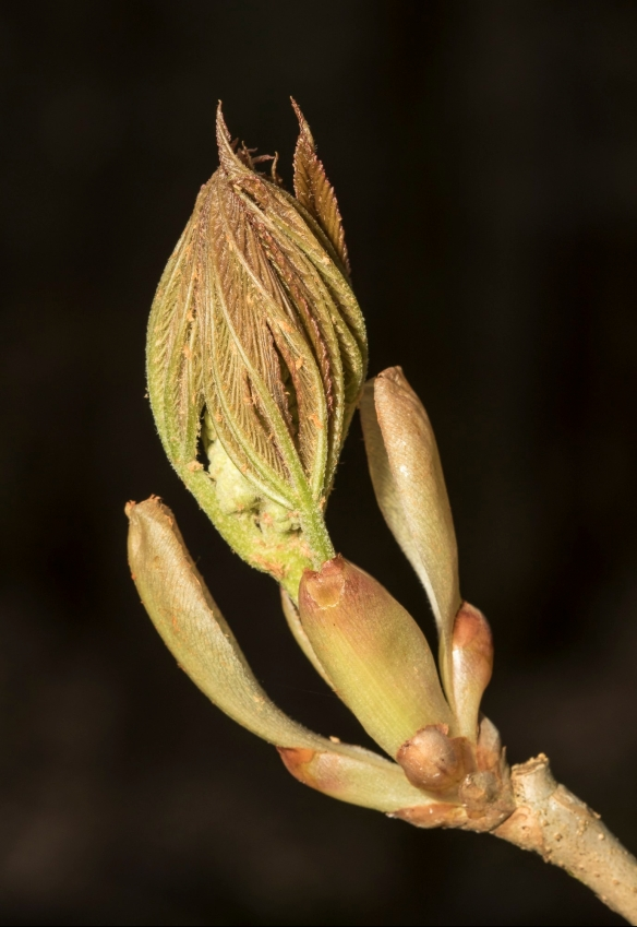 painted-buckeye-bud-with-flower-stalk.jpg