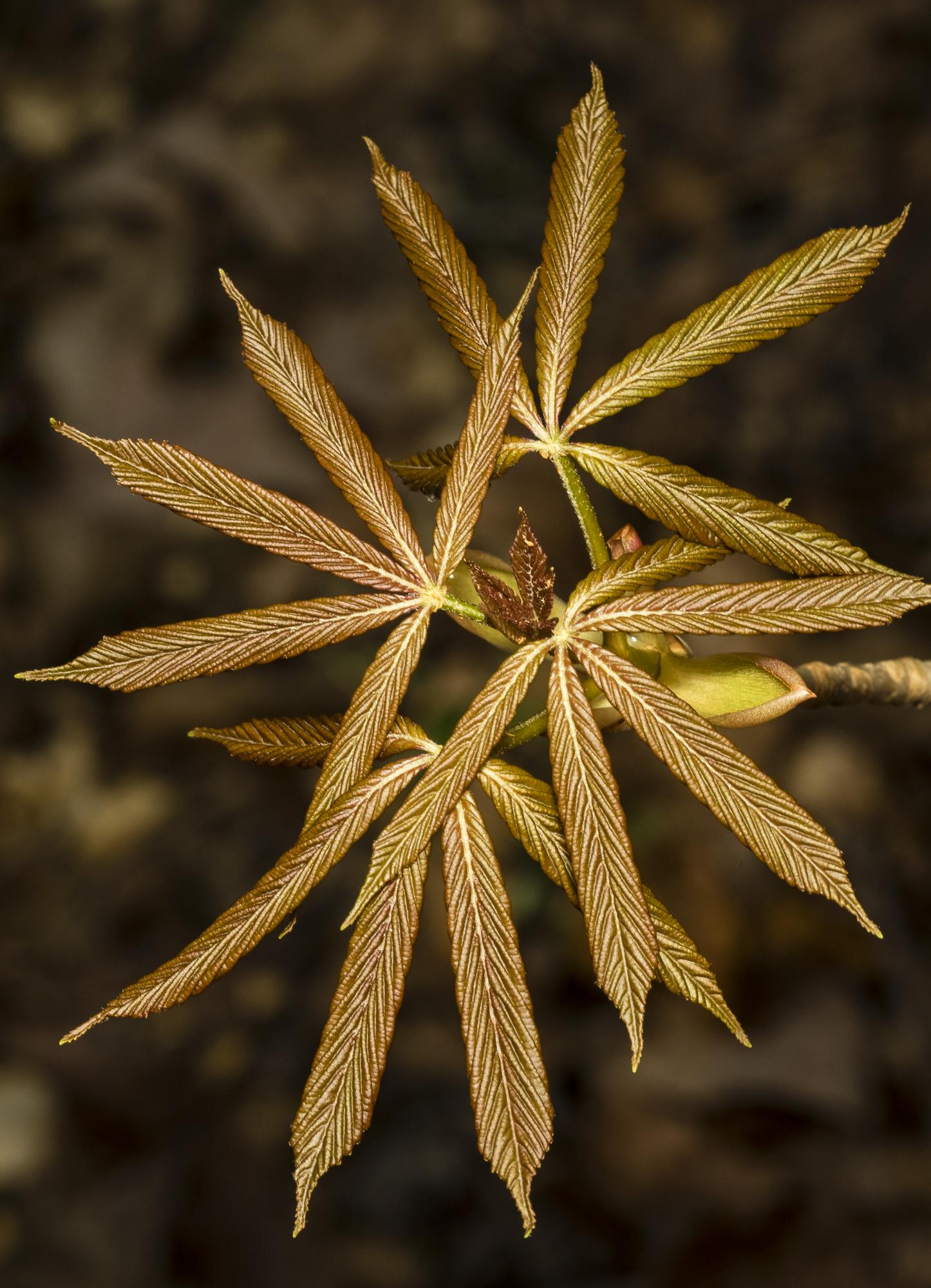Painted buckeye leaves showing