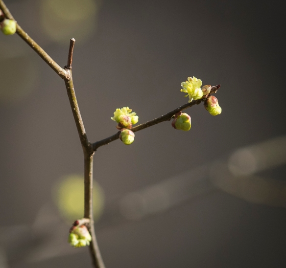 Spicebush flowers opening