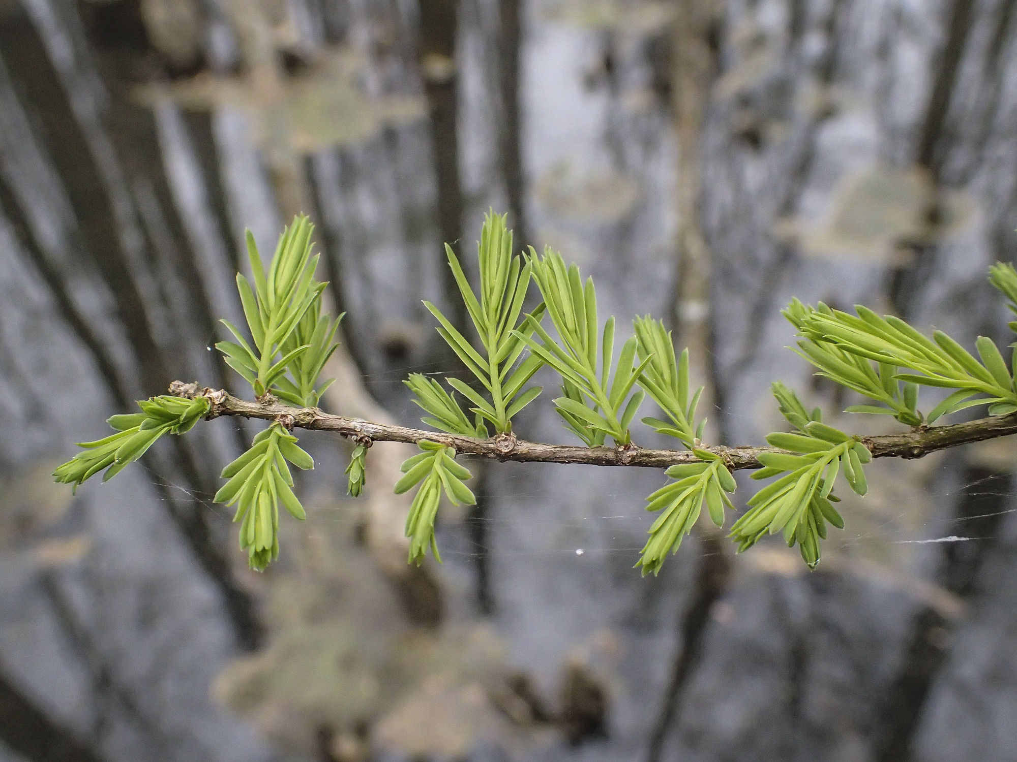 bald cypress leaf out
